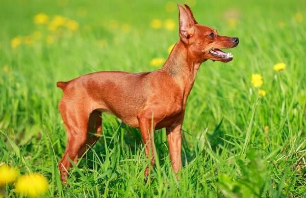 Цвергпинчер-собака-Описание-особенности-виды-уход-и-цена-породы-цвергпинчер-8