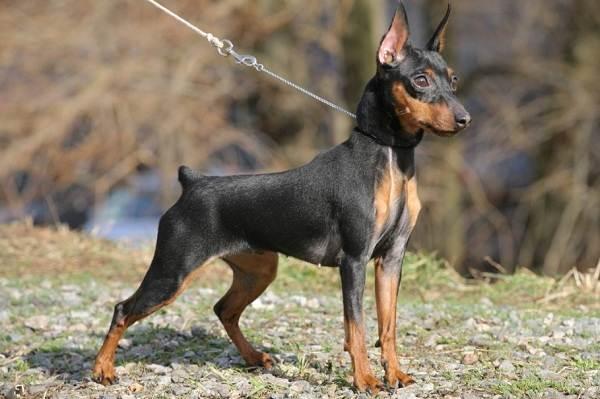Цвергпинчер-собака-Описание-особенности-виды-уход-и-цена-породы-цвергпинчер-9