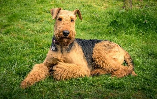 Эрдельтерьер-собака-Описание-особенности-виды-уход-и-цена-породы-эрдельтерьер-10