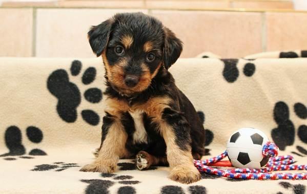 Эрдельтерьер-собака-Описание-особенности-виды-уход-и-цена-породы-эрдельтерьер-14