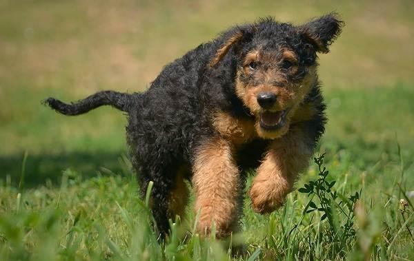 Эрдельтерьер-собака-Описание-особенности-виды-уход-и-цена-породы-эрдельтерьер-15