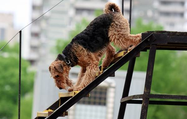 Эрдельтерьер-собака-Описание-особенности-виды-уход-и-цена-породы-эрдельтерьер-16