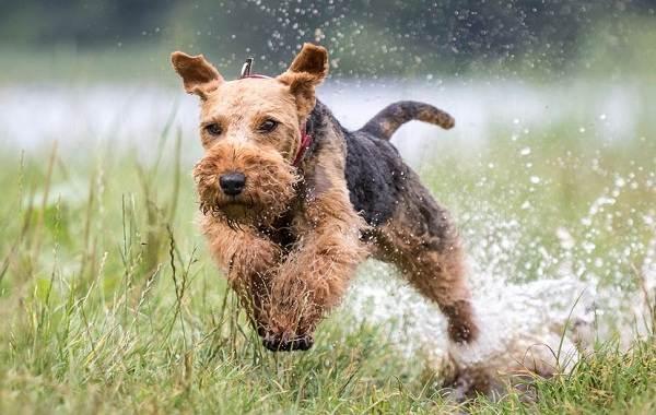 Эрдельтерьер-собака-Описание-особенности-виды-уход-и-цена-породы-эрдельтерьер-17