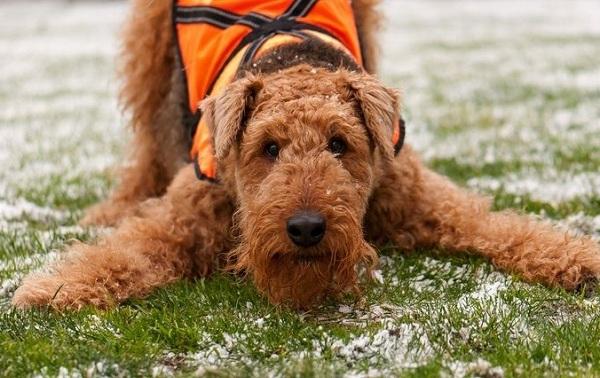 Эрдельтерьер-собака-Описание-особенности-виды-уход-и-цена-породы-эрдельтерьер-19