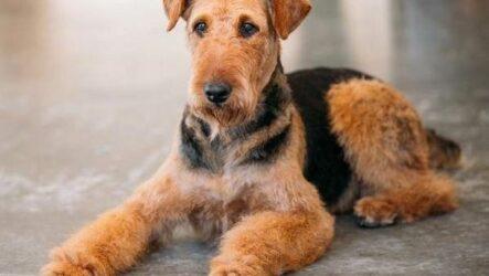 Эрдельтерьер собака. Описание, особенности, виды, уход и цена породы эрдельтерьер