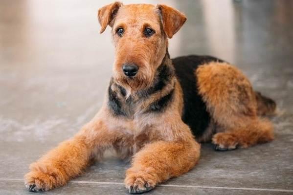 Эрдельтерьер-собака-Описание-особенности-виды-уход-и-цена-породы-эрдельтерьер-2