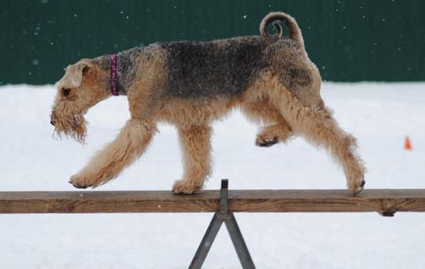Эрдельтерьер-собака-Описание-особенности-виды-уход-и-цена-породы-эрдельтерьер-21