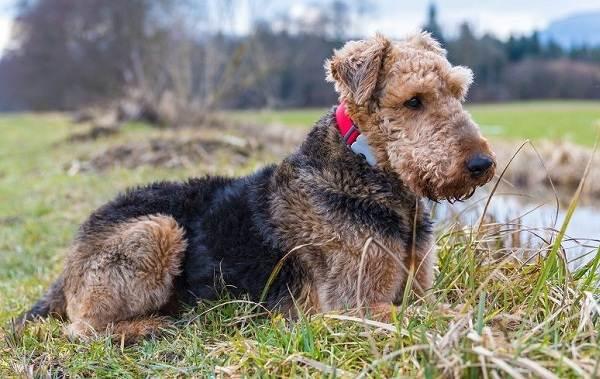 Эрдельтерьер-собака-Описание-особенности-виды-уход-и-цена-породы-эрдельтерьер-3