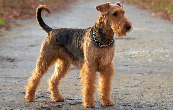 Эрдельтерьер-собака-Описание-особенности-виды-уход-и-цена-породы-эрдельтерьер-7