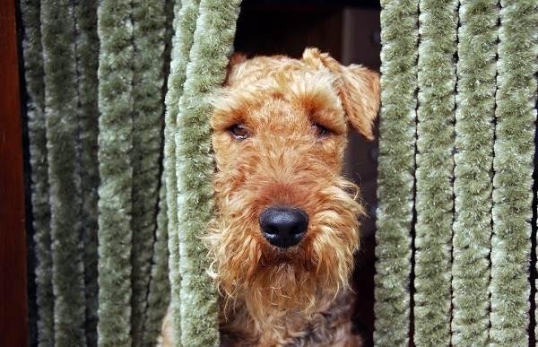 Эрдельтерьер-собака-Описание-особенности-виды-уход-и-цена-породы-эрдельтерьер-8