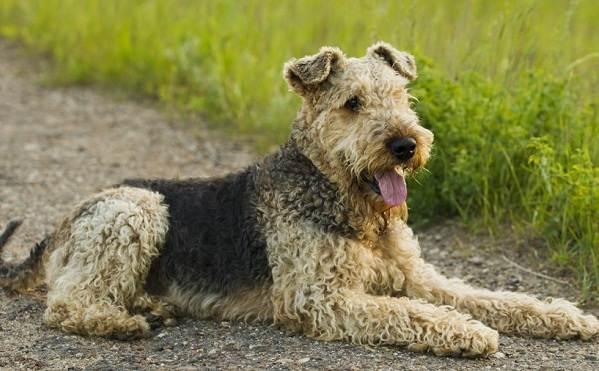 Эрдельтерьер-собака-Описание-особенности-виды-уход-и-цена-породы-эрдельтерьер-9