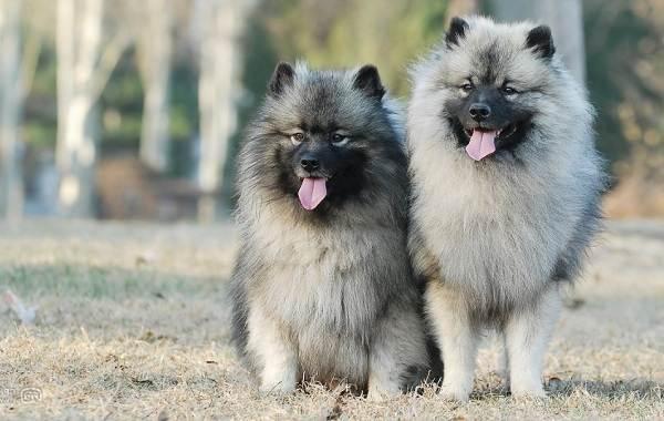 Кеесхонд-собака-Описание-особенности-виды-уход-и-цена-породы-кеесхонд-1