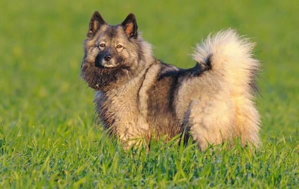 Кеесхонд-собака-Описание-особенности-виды-уход-и-цена-породы-кеесхонд-10