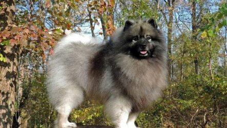 Кеесхонд собака. Описание, особенности, виды, уход и цена породы кеесхонд