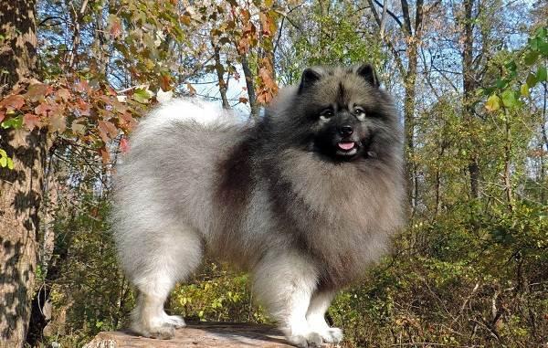 Кеесхонд-собака-Описание-особенности-виды-уход-и-цена-породы-кеесхонд-15