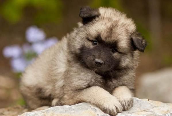 Кеесхонд-собака-Описание-особенности-виды-уход-и-цена-породы-кеесхонд-18