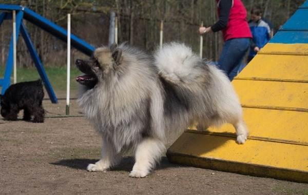 Кеесхонд-собака-Описание-особенности-виды-уход-и-цена-породы-кеесхонд-19