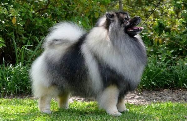 Кеесхонд-собака-Описание-особенности-виды-уход-и-цена-породы-кеесхонд-2