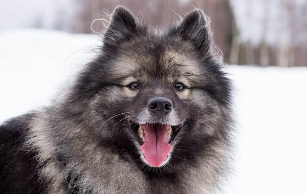 Кеесхонд-собака-Описание-особенности-виды-уход-и-цена-породы-кеесхонд-4