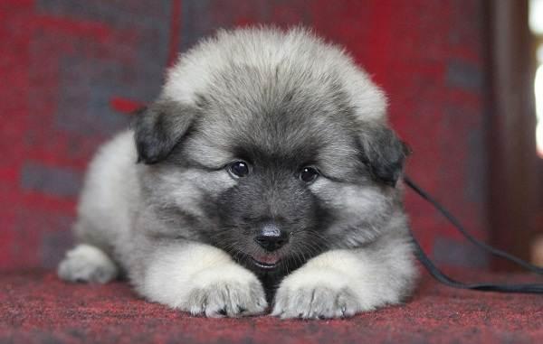 Кеесхонд-собака-Описание-особенности-виды-уход-и-цена-породы-кеесхонд-6