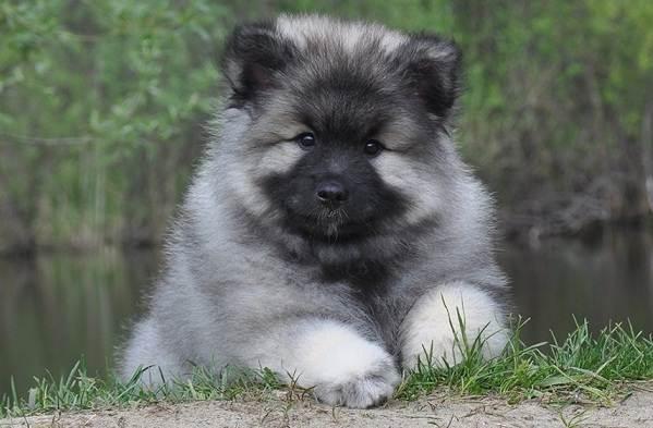 Кеесхонд-собака-Описание-особенности-виды-уход-и-цена-породы-кеесхонд-7