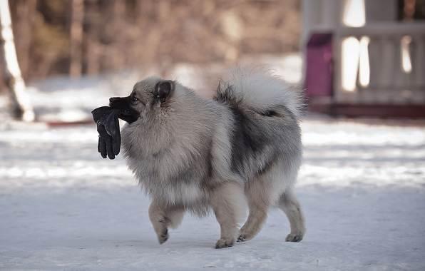 Кеесхонд-собака-Описание-особенности-виды-уход-и-цена-породы-кеесхонд-8