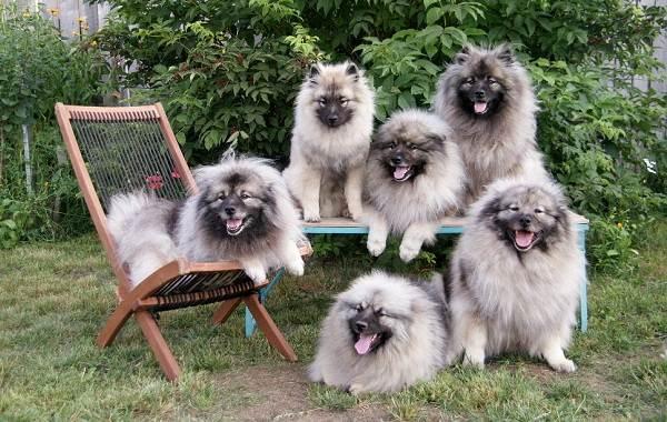 Кеесхонд-собака-Описание-особенности-виды-уход-и-цена-породы-кеесхонд-9