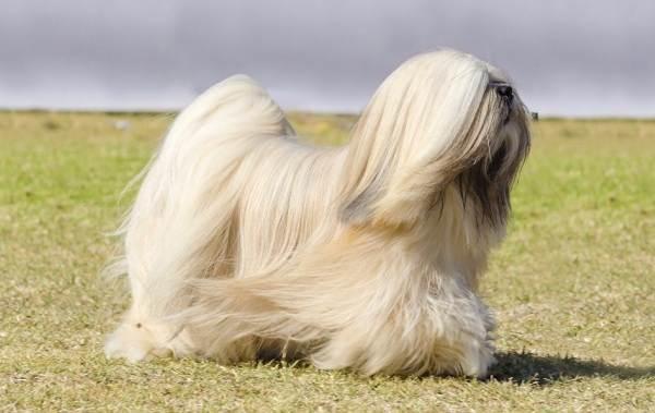 Лхаса-апсо-собака-Описание-особенности-виды-уход-и-цена-породы-лхаса-апсо-10