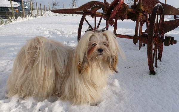 Лхаса-апсо-собака-Описание-особенности-виды-уход-и-цена-породы-лхаса-апсо-11