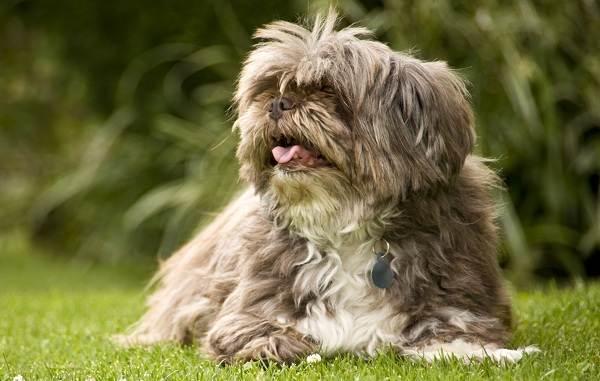 Лхаса-апсо-собака-Описание-особенности-виды-уход-и-цена-породы-лхаса-апсо-12