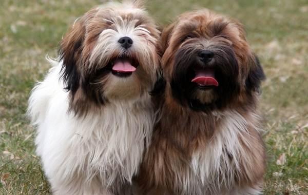 Лхаса-апсо-собака-Описание-особенности-виды-уход-и-цена-породы-лхаса-апсо-13