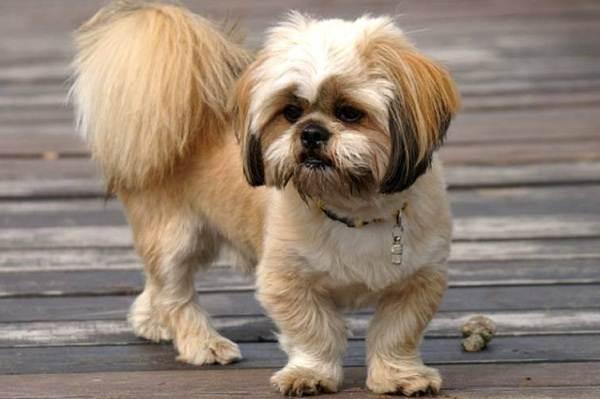 Лхаса-апсо-собака-Описание-особенности-виды-уход-и-цена-породы-лхаса-апсо-14