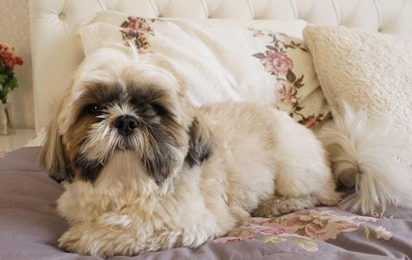 Лхаса-апсо-собака-Описание-особенности-виды-уход-и-цена-породы-лхаса-апсо-18