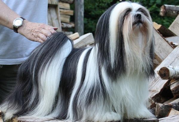 Лхаса-апсо-собака-Описание-особенности-виды-уход-и-цена-породы-лхаса-апсо-19