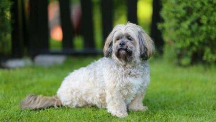Лхаса апсо собака. Описание, особенности, виды, уход и цена породы лхаса апсо