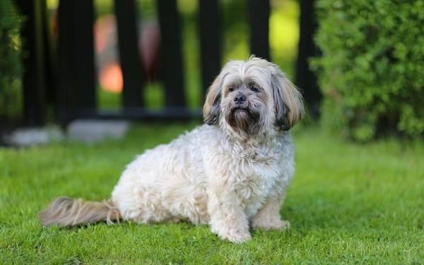 Лхаса-апсо-собака-Описание-особенности-виды-уход-и-цена-породы-лхаса-апсо-2