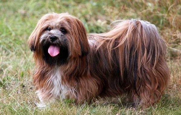Лхаса-апсо-собака-Описание-особенности-виды-уход-и-цена-породы-лхаса-апсо-20