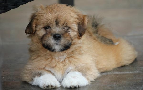 Лхаса-апсо-собака-Описание-особенности-виды-уход-и-цена-породы-лхаса-апсо-21