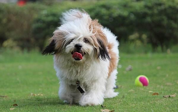 Лхаса-апсо-собака-Описание-особенности-виды-уход-и-цена-породы-лхаса-апсо-3