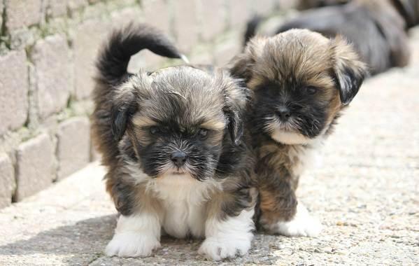 Лхаса-апсо-собака-Описание-особенности-виды-уход-и-цена-породы-лхаса-апсо-4