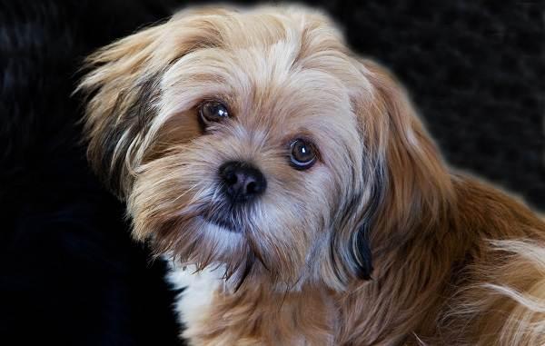 Лхаса-апсо-собака-Описание-особенности-виды-уход-и-цена-породы-лхаса-апсо-5