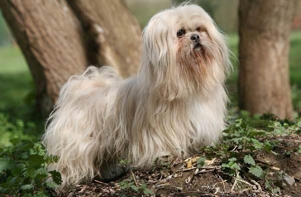 Лхаса-апсо-собака-Описание-особенности-виды-уход-и-цена-породы-лхаса-апсо-6
