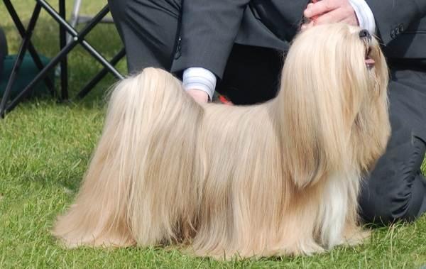 Лхаса-апсо-собака-Описание-особенности-виды-уход-и-цена-породы-лхаса-апсо-7