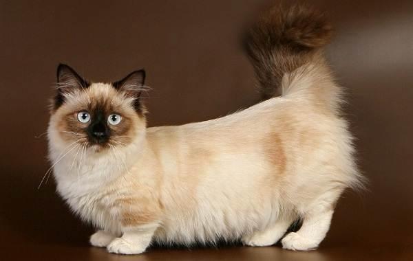 Манчкин-кошка-Описание-особенности-виды-уход-и-цена-породы-манчкин-1