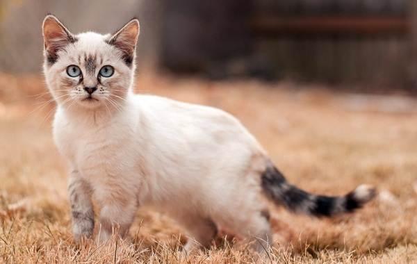 Манчкин-кошка-Описание-особенности-виды-уход-и-цена-породы-манчкин-10