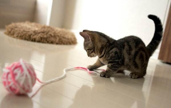 Манчкин-кошка-Описание-особенности-виды-уход-и-цена-породы-манчкин-12