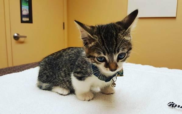Манчкин-кошка-Описание-особенности-виды-уход-и-цена-породы-манчкин-13