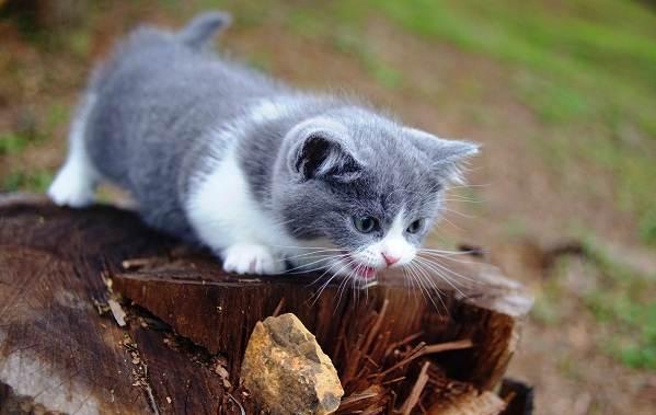 Манчкин-кошка-Описание-особенности-виды-уход-и-цена-породы-манчкин-14