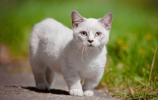Манчкин-кошка-Описание-особенности-виды-уход-и-цена-породы-манчкин-2