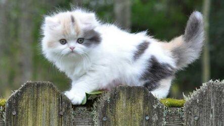 Манчкин кошка. Описание, особенности, виды, уход и цена породы манчкин